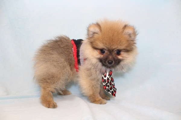 Playstation - Toy Pomeranian Puppy-0