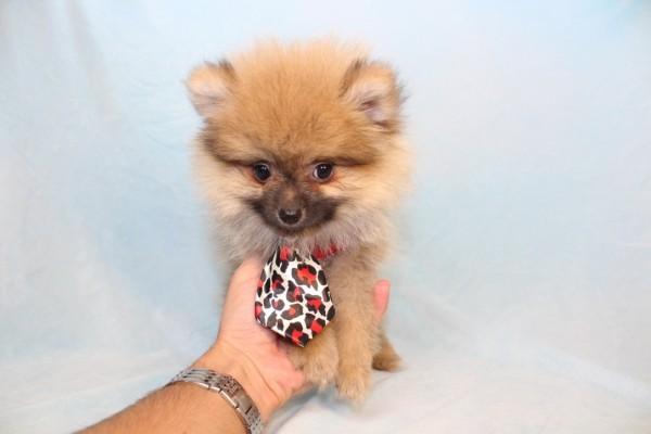 Playstation - Toy Pomeranian Puppy-39346