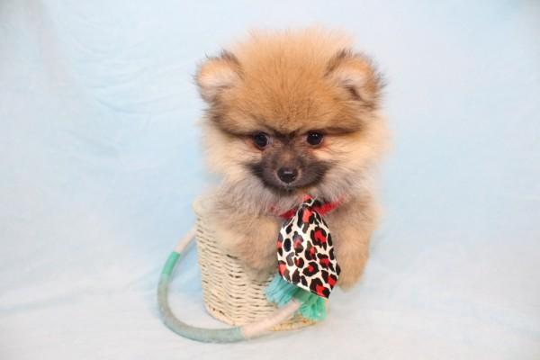Playstation - Toy Pomeranian Puppy-39347