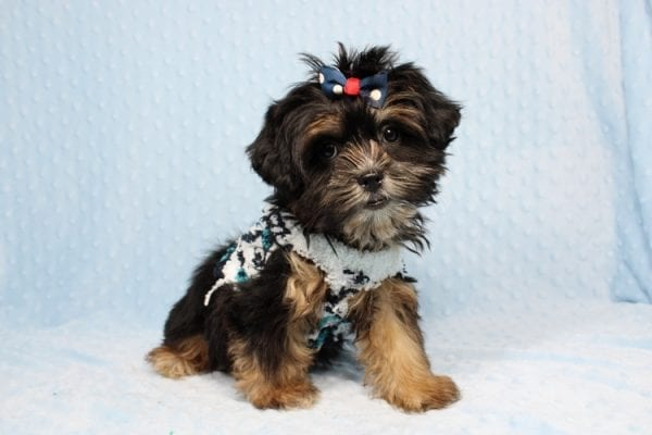 Colonel - Toy Yorkie Puppy-40873