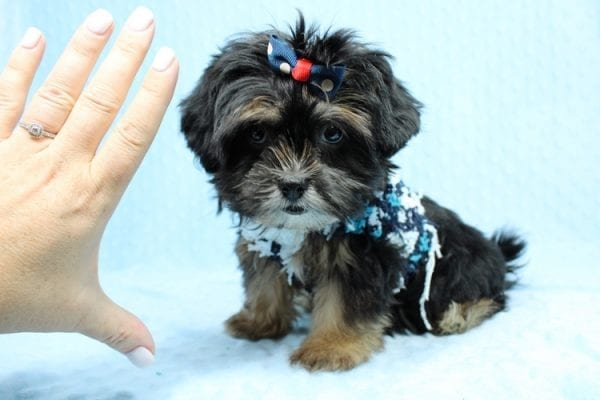 Colonel - Toy Yorkie Puppy-40876