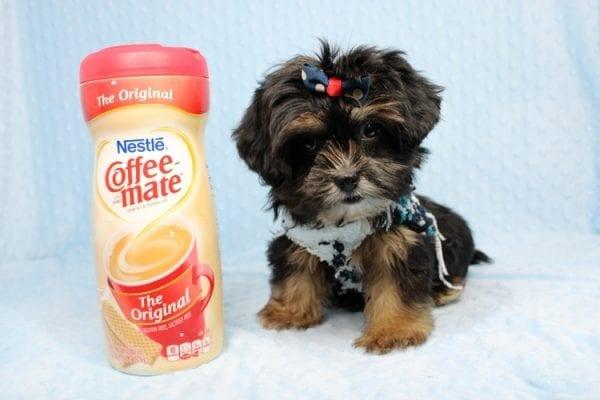 Colonel - Toy Yorkie Puppy-0