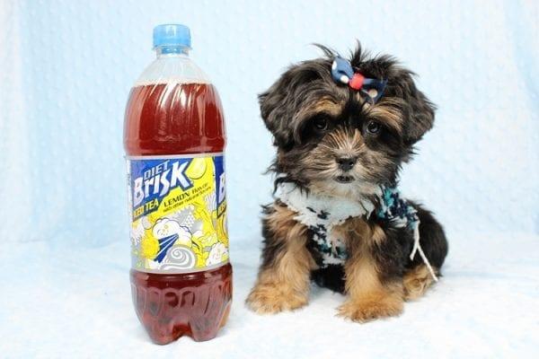 Colonel - Toy Yorkie Puppy-40875