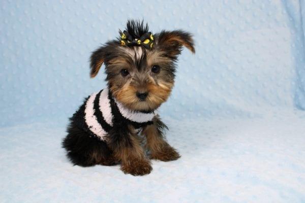 Moose - Teacup Yorkie Puppy-40888