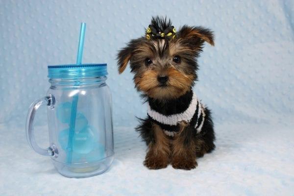 Moose - Teacup Yorkie Puppy-40889
