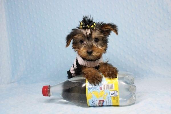 Moose - Teacup Yorkie Puppy-40891