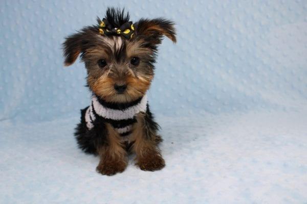 Moose - Teacup Yorkie Puppy-40887