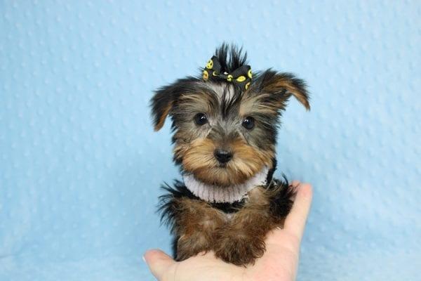 Moose - Teacup Yorkie Puppy-40892