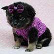 Porkie Puppies