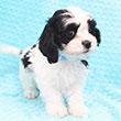 Maltspaniel Puppies