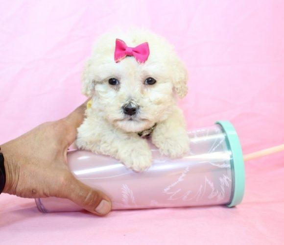 11 - Teacup Maltipoo Puppy8