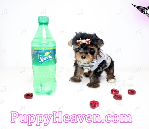 5 Stars - Tiny Teacup Yorkie Puppy In Los Angeles Found A new loving home with Arthur from N.Hollywood CA 91605-0