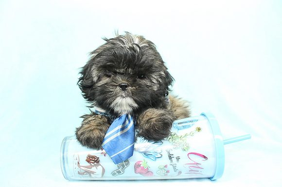7-11 - Teacup Shih Tzu Puppyis has found a good loving home with Abigail from San Diego, CA 92126-0