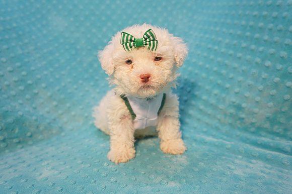7-Up - Teacup Maltipoo Puppy In Costa Mesa-0