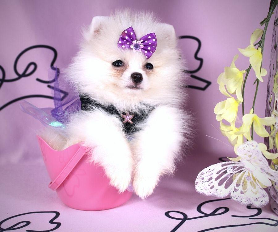 Abby - toy pomeranian puppy in Las Vegas:Los Angeles.1