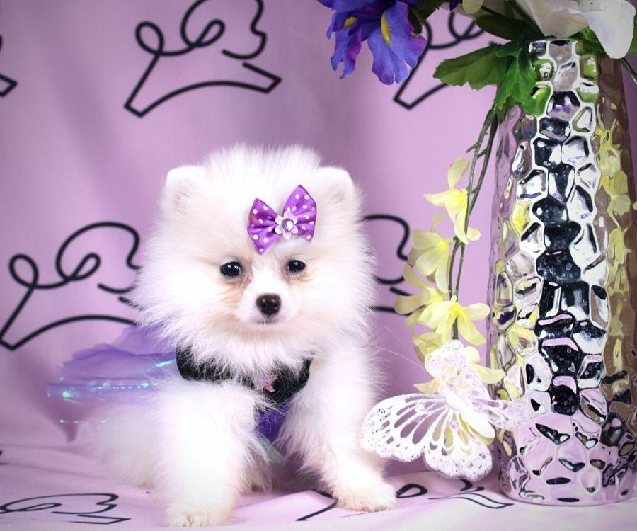 Abby - toy pomeranian puppy in Las Vegas:Los Angeles.2