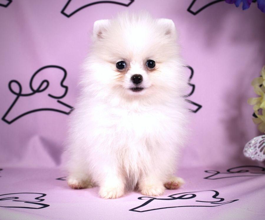 Abby - toy pomeranian puppy in Las Vegas:Los Angeles.3