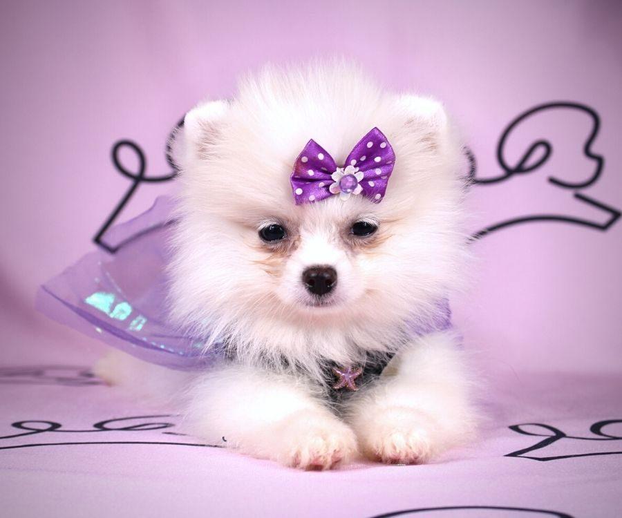Abby - toy pomeranian puppy in Las Vegas:Los Angeles.5