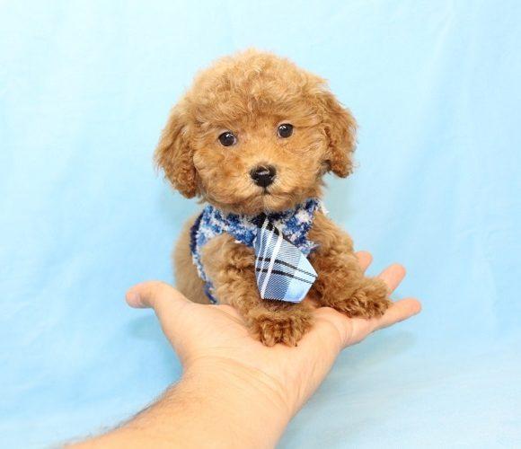 Abdul Jabbar - Teacup Poodle Puppy29