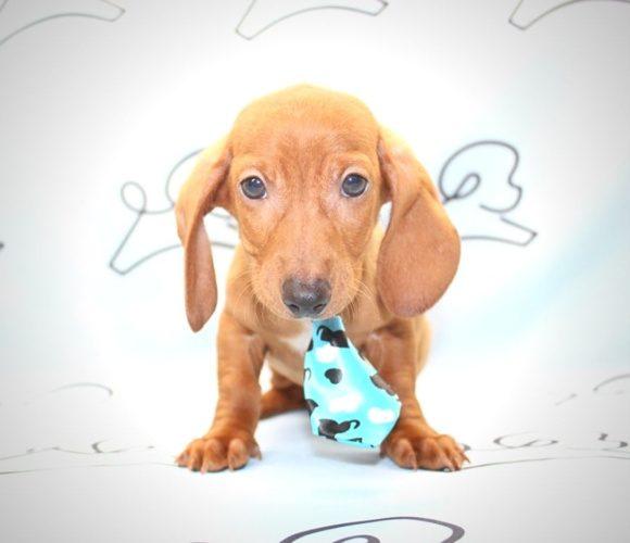 Abott - Teacup Dachshund Puppy in Las Vegas.3