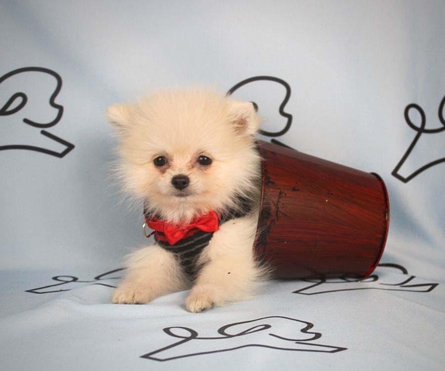 Aby - toy pomeranian puppy in Las Vegas_Los Angeles0