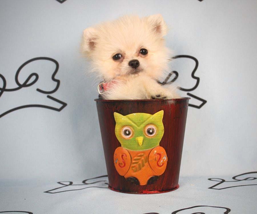 Aby - toy pomeranian puppy in Las Vegas_Los Angeles1