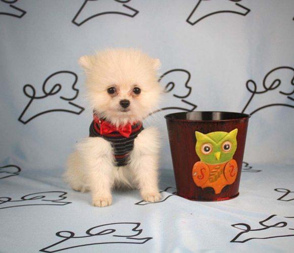 Aby - toy pomeranian puppy in Las Vegas_Los Angeles2