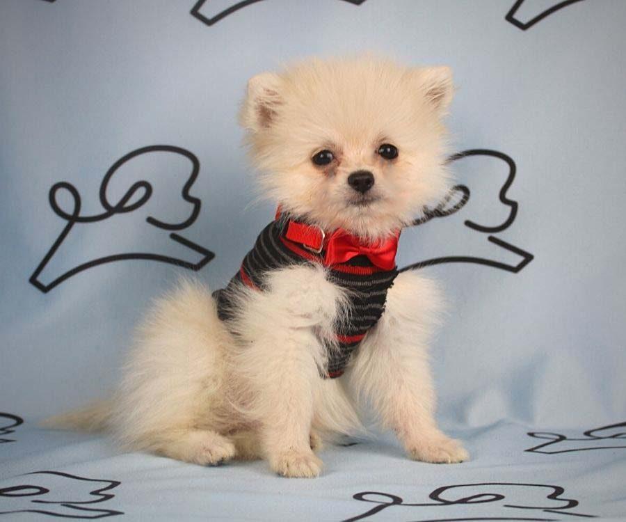 Aby - toy pomeranian puppy in Las Vegas_Los Angeles3