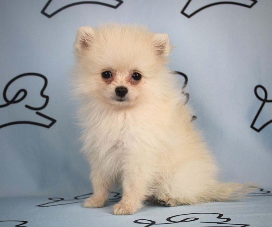 Aby - toy pomeranian puppy in Las Vegas_Los Angeles4