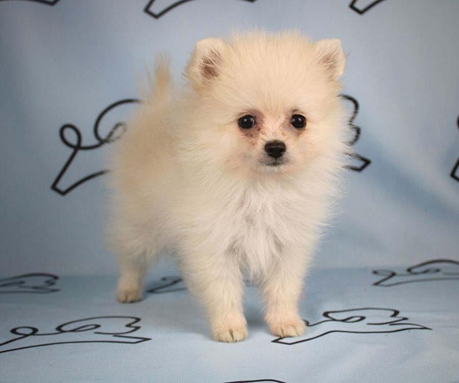 Aby - toy pomeranian puppy in Las Vegas_Los Angeles5