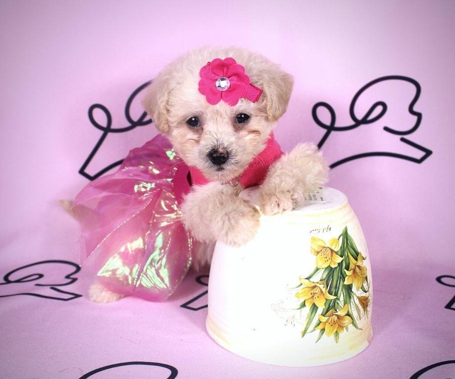 Adella - toy maltipoo puppy in Las Vegas:Los Angeles.0