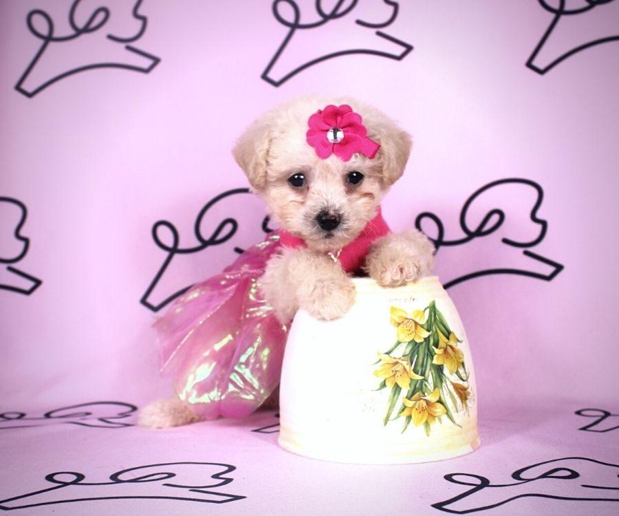 Adella - toy maltipoo puppy in Las Vegas:Los Angeles.2