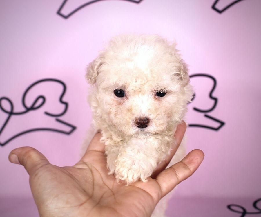 Adella - toy maltipoo puppy in Las Vegas:Los Angeles.3