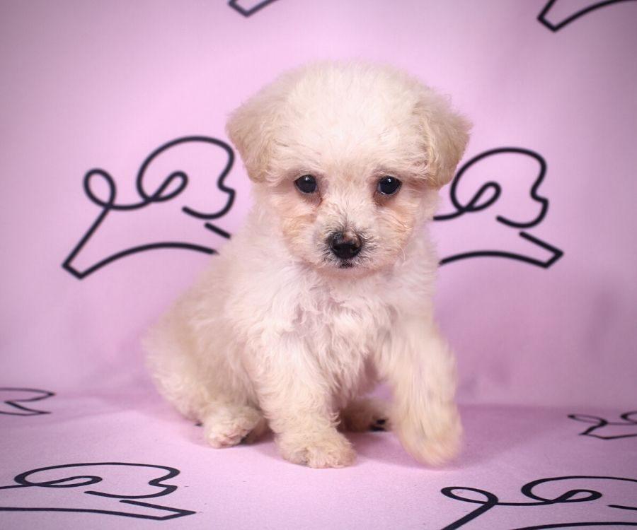 Adella - toy maltipoo puppy in Las Vegas:Los Angeles.4