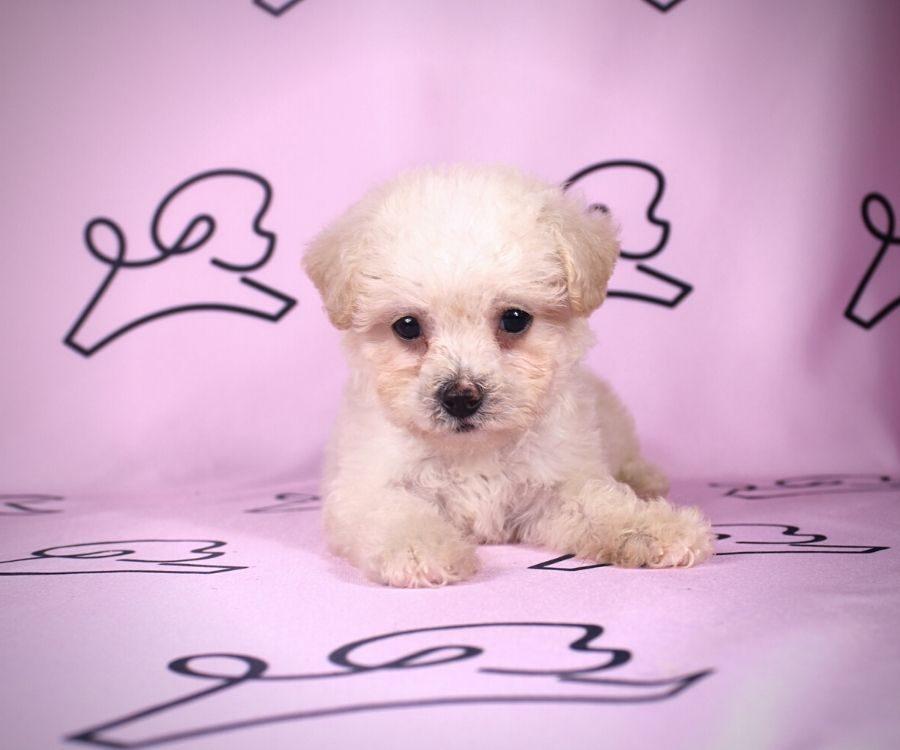 Adella - toy maltipoo puppy in Las Vegas:Los Angeles.5