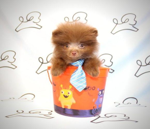 Akela - toy pomeranian puppy in Las Vegas:Los Angeles.4