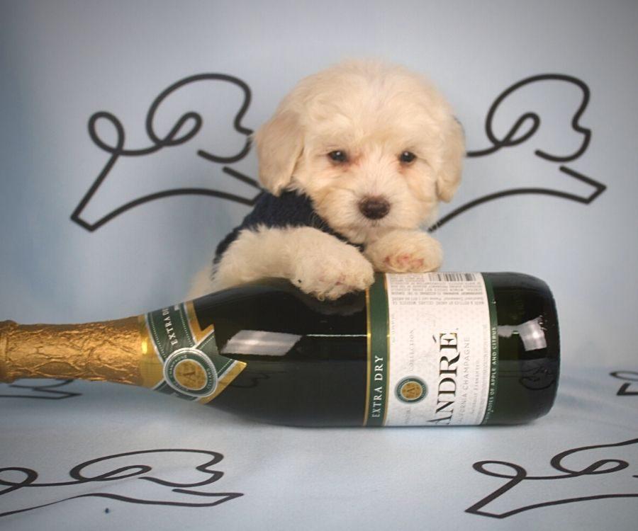 Alada - toy maltipoo puppy in Las Vegas:Los Angeles.0