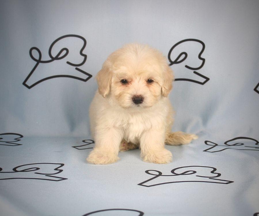 Alada - toy maltipoo puppy in Las Vegas:Los Angeles.1
