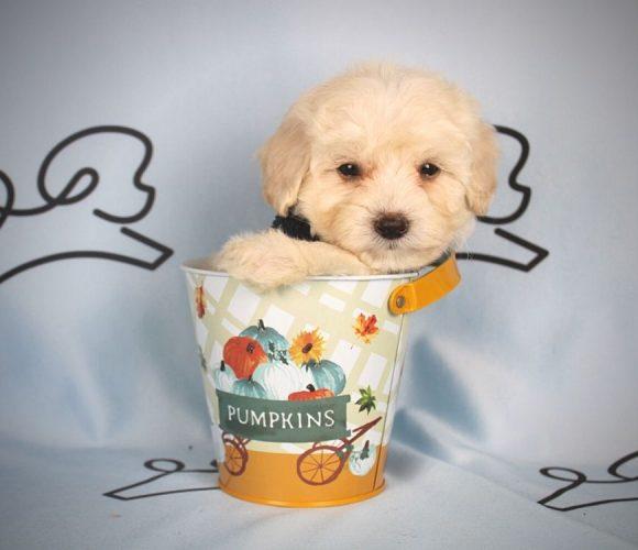 Alada - toy maltipoo puppy in Las Vegas:Los Angeles.2