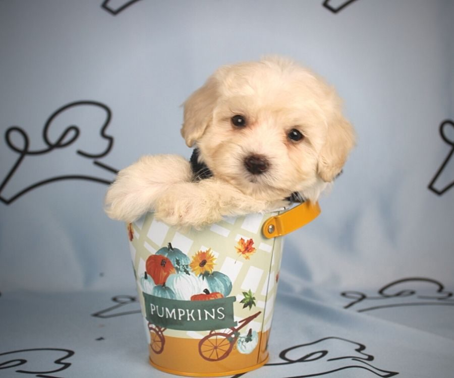 Alada - toy maltipoo puppy in Las Vegas:Los Angeles.3