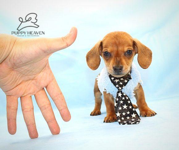 Albion - Dachshund Puppy (6)