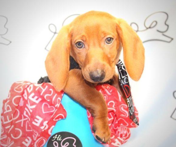 Alden - Toy Dachshund Puppy near Santa Monica.1