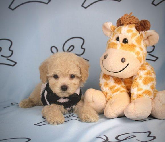Alfonso - toy maltipoo puppy in Las Vegas:Los Angeles.5