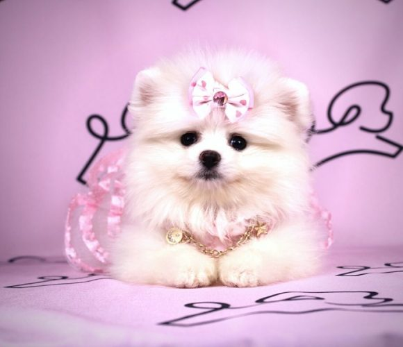 Alice - toy pomeranian puppy in Las Vegas:Los Angeles.2