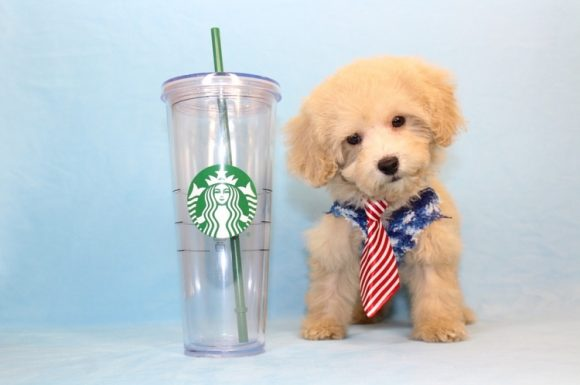 Alpha - Teacup Poodle Puppy4