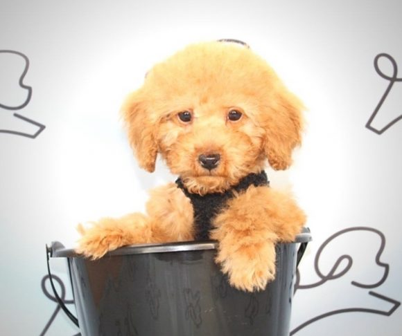Alpha - Toy Poodle Puppy.6