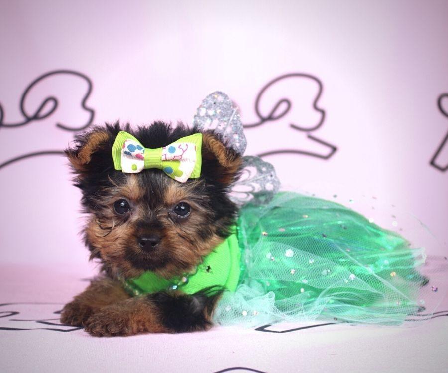 Amalia - toy yorkie puppy in Las Vegas:Los Angeles.1