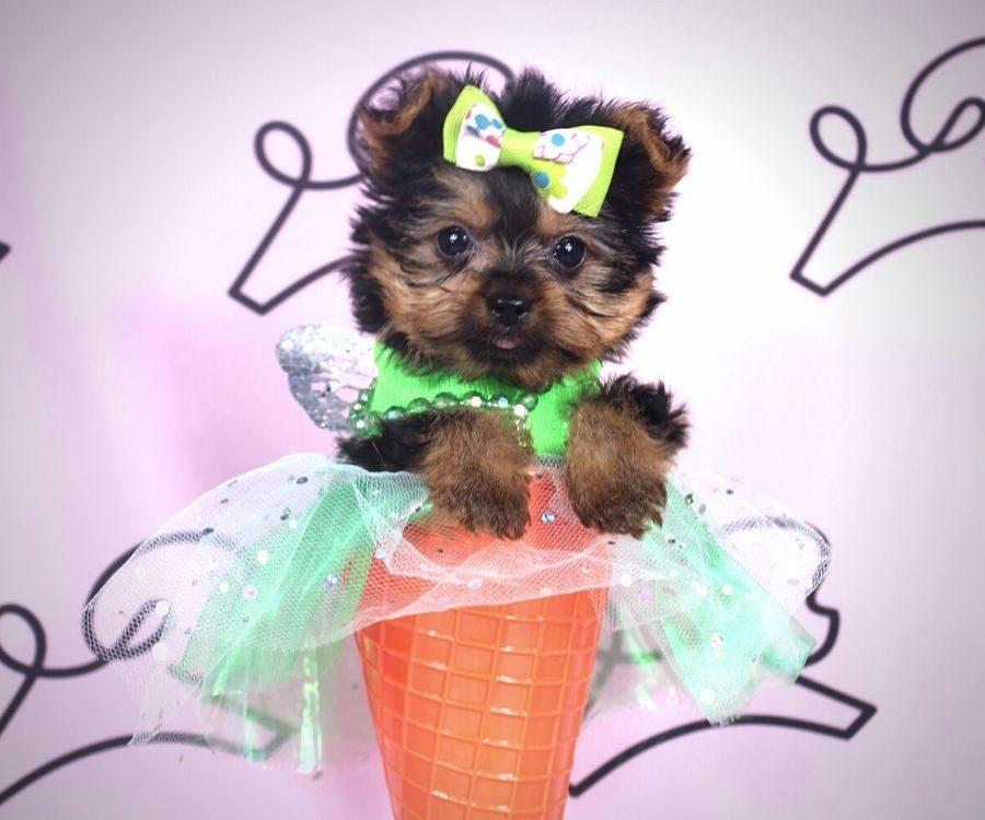 Amalia - toy yorkie puppy in Las Vegas:Los Angeles.2