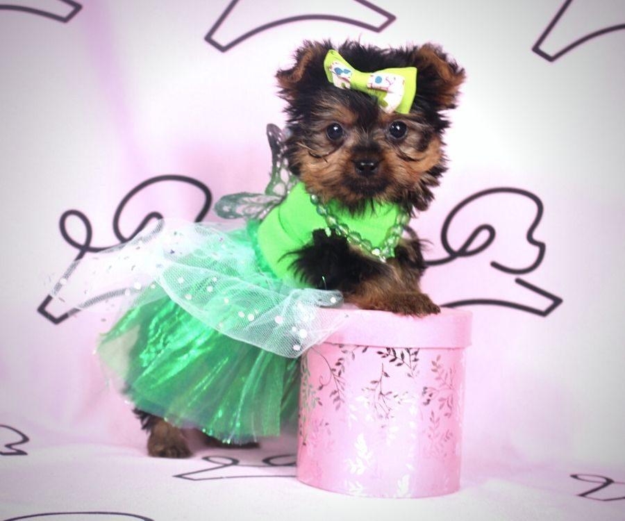 Amalia - toy yorkie puppy in Las Vegas:Los Angeles.3