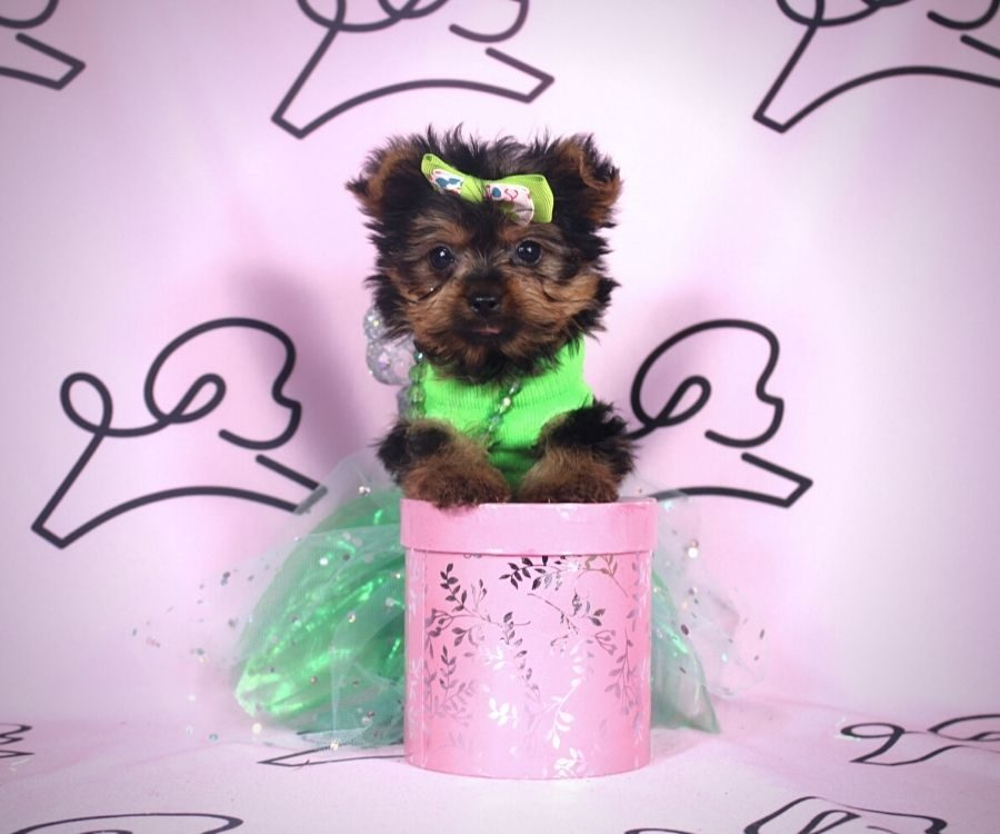 Amalia - toy yorkie puppy in Las Vegas:Los Angeles.4